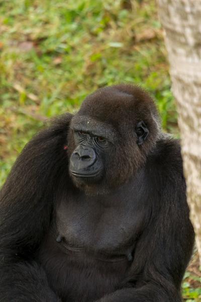 madini gorilla jacksonville zoo