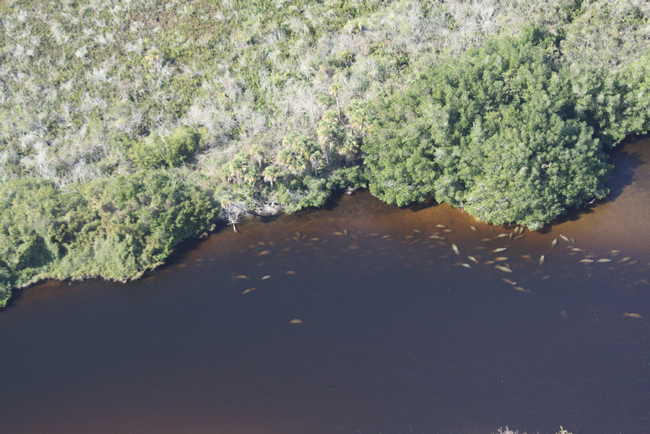 Manatees congregating in an Orange River cove in lee County during the January aerial count. (FWC)