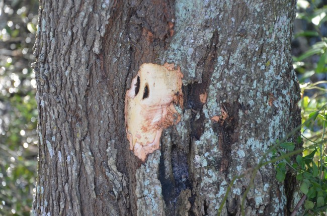 The gash on the larger tree. Click on the image for larger view. (© FlaglerLive)