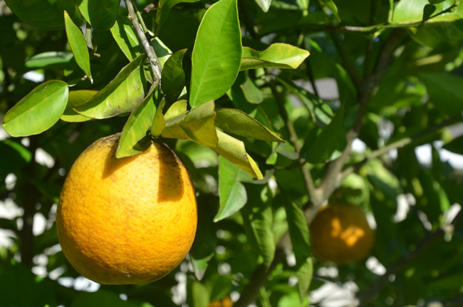 florida citrus production oranges down