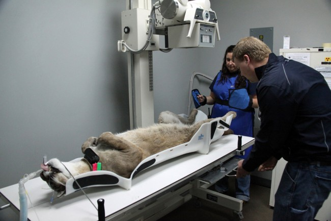 It's a dog's life: the panther getting X-rayed. (FWC)