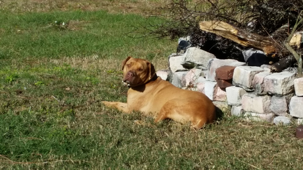 A tan pit bull had attacked two people by the time a man pinned it down and apparently killed the dog by the time sheriff's deputies showed up. The image above is a file photo unrelated to the dog in question. (Michael Curi)