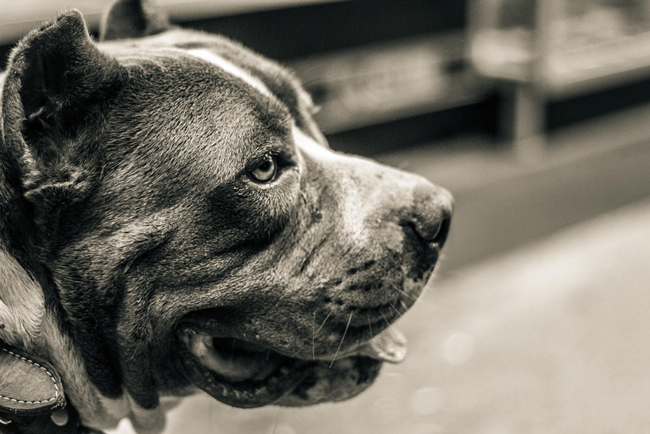 Pit pulls have been at the center of an ongoing controversy about their safety, and the proportion of attacks involving their breed, as compared to other breeds. A pit bull attacked two children and their mother Wednesday at Second Chance Rescue in Bunnell. (Lisandro Sanchez)