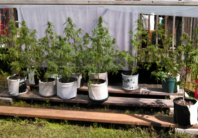 Dwayne Reed showed police his pot plants, saying they were for his personal use. (FCSO)