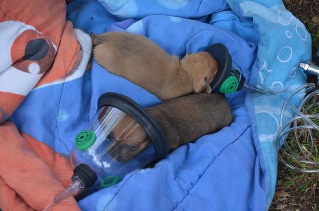 puppies on oxygen fire