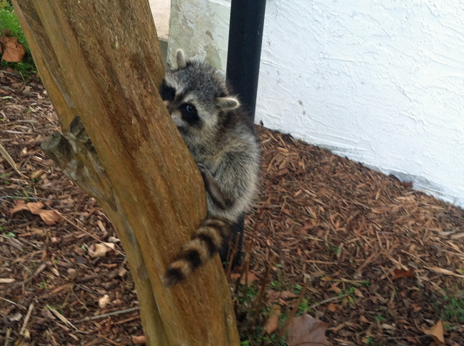The raccoon somehow got its paws stuck