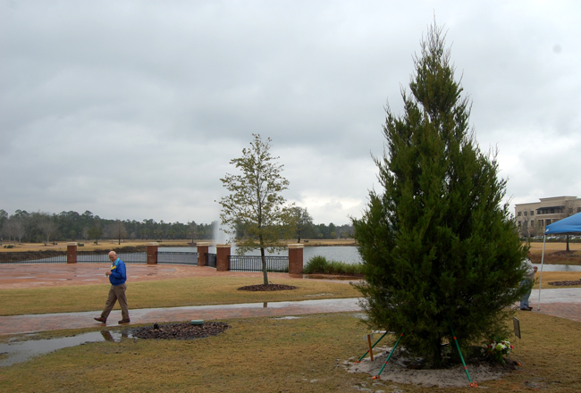 Town Center's new Southern Redcedar, a gift to the city by the Palm Coast Garden Club. Bill Butler, the city's landscape architect, to the left, was largely instrumental in enabling the gift and making the tree the future focal point of Christmas tree-lighting ceremonies. (© FlaglerLive)