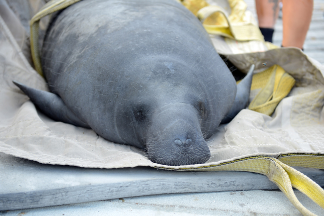 A rehabilitated red tide manatees released by FWC at Horton Park boat ramp in Cape Coral in July. (FWC)