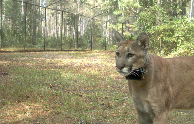 Nine months old when the panther suffered an injury and was taken in for rehabilitation, she was photographed last October, and released on March 10 back into the wild. (FWC)