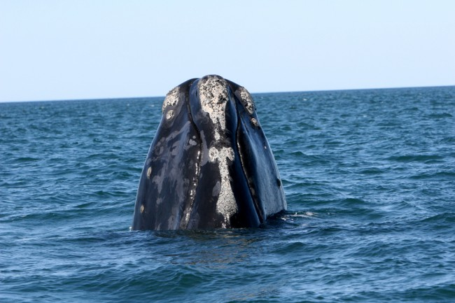 "A right whale in Florida waters. Right whales have patches of rough skin on their head called callosity. The callosity pattern is unique to each individual whale (like fingerprints are to humans) and looks white because it is covered by thousands of small, light-colored, crab-like creatures called ""whale lice."" The whale lice do not harm the whale and can only grip onto the rough callosity. (Florida Fish and Wildlife Conservation Commission)"