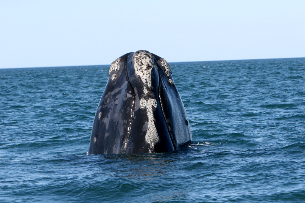 """A right whale in Florida waters. Right whales have patches of rough skin on their head called callosity. The callosity pattern is unique to each individual whale (like fingerprints are to humans) and looks white because it is covered by thousands of small, light-colored, crab-like creatures called """"whale lice."""" The whale lice do not harm the whale and can only grip onto the rough callosity. (Florida Fish and Wildlife Conservation Commission)"""