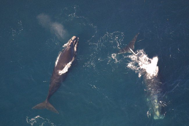 right whale gromling
