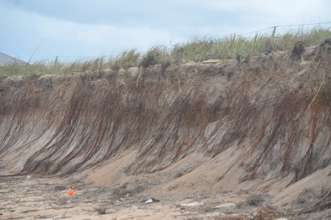 Hurricane Matthew turned sand dunes like these, just south of Varn Park, into sand cliffs, eroding enormous chunks and exposing long-buried roots--or, as was the case in today's find, apparent human bones. (c FlaglerLive)