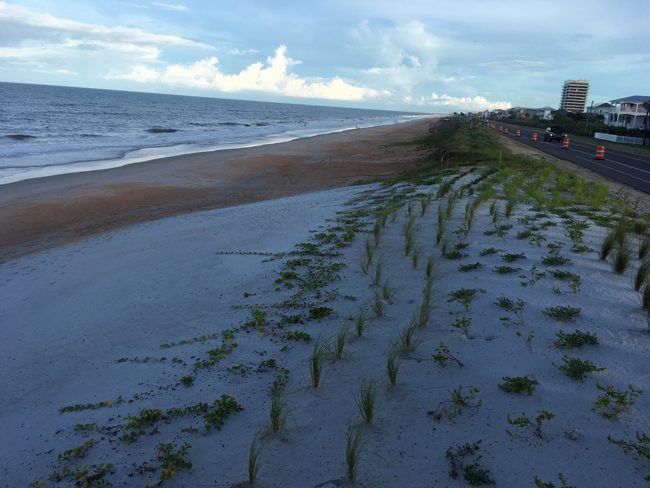 Taking root on Flagler Beach's new buried sea wall. (c FlaglerLive)