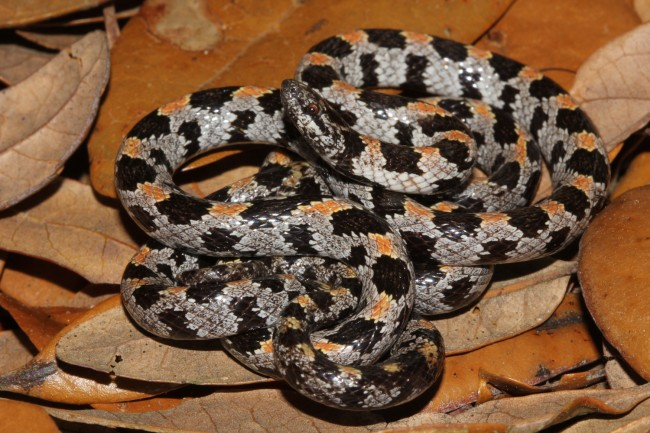 The short-tailed snake. Click on the image for larger view. (FWC)