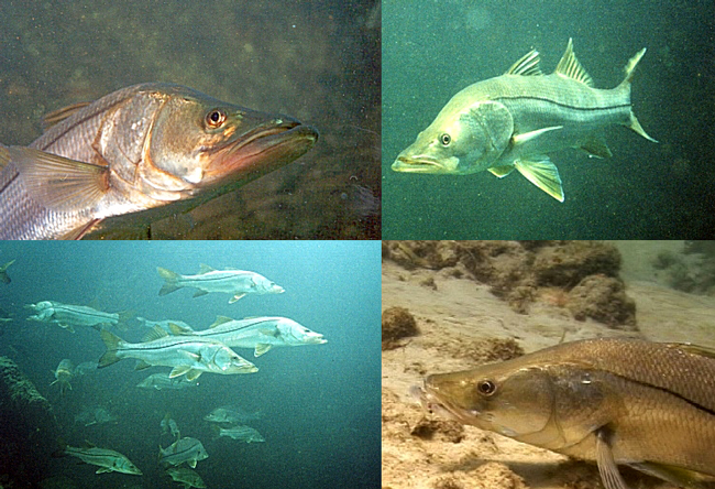 Snook fishing in florida waters why the conservation for Florida fishing regs