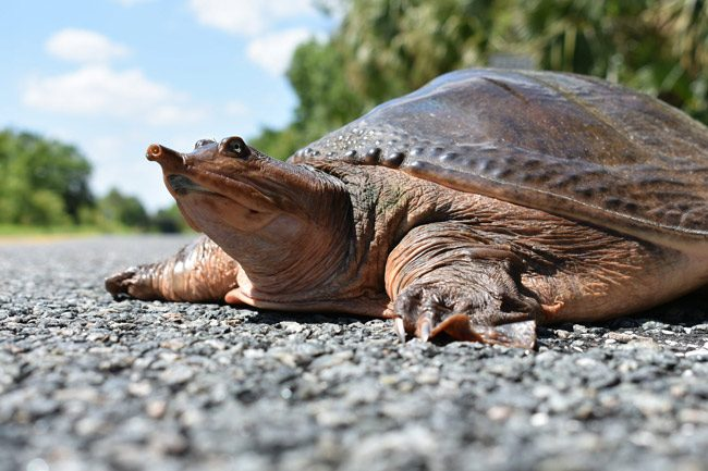 Softshell turtle FWC photo by Chad Weber