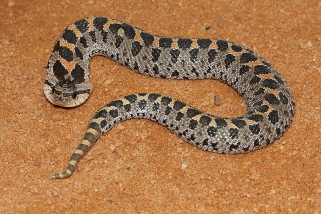 The southern hognose snake. Click on the image for larger view. (FWC)