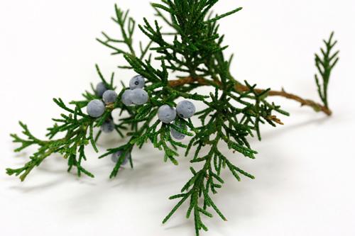 Southern Red Cedar ~ Southern redcedar or quot sand cedar juniper siliciola