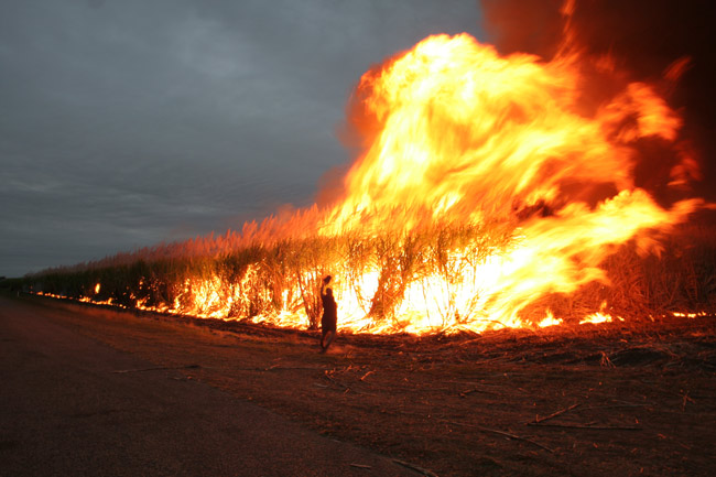 sugar cane fields fires harvest