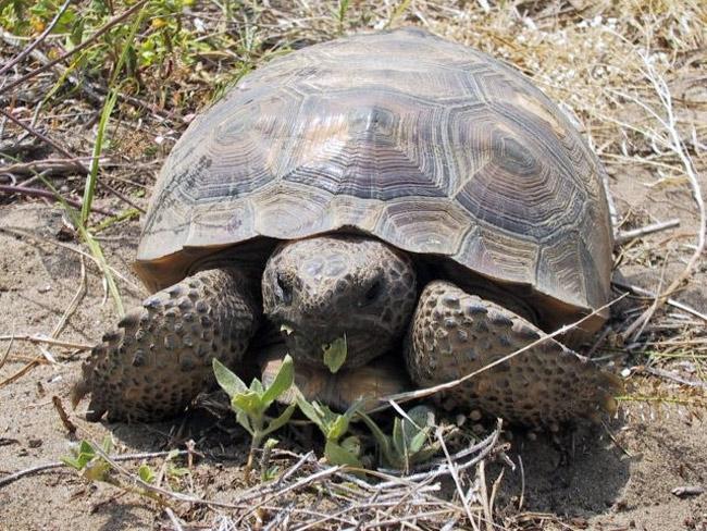 You say tortoise, I say turtle.