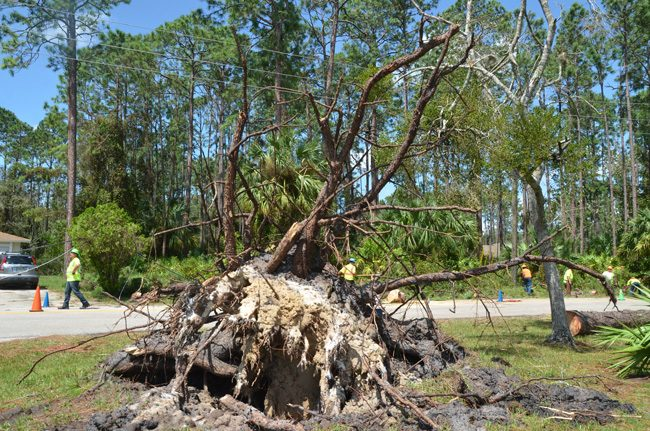 Contractors from the Halter Group, a tree-service company from Vincennes, Indiana, worked to clear an enormous tree's limbs from Point Pleasant Drive near Royal Palms Parkway, in Palm Coast, this afternoon. (c FlaglerLive)