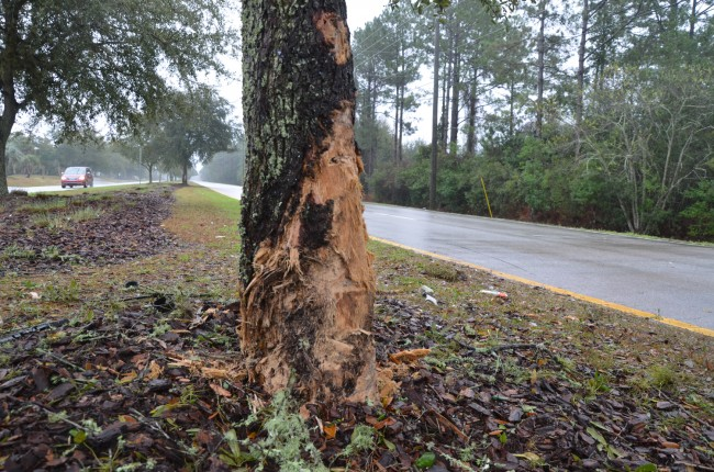 Robert Cronin's Toyota struck this tree in the median on Whiteview Parkway early Saturday morning. (c FlaglerLive)