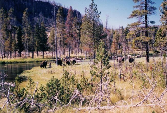 Yellowstone, where buffalo, and American glories, still roam. (© FlaglerLive)